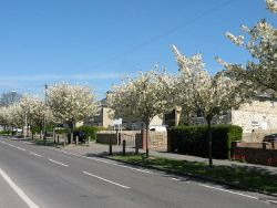 Blossom time on Cherry Hinton High Street - Geograph - 4439675.jpg