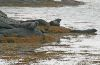 Seals-golden-rd.jpg